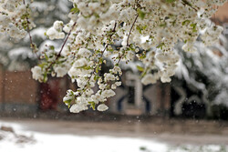 Blossoms covered in snow in Ardebil