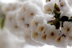 دمای هوا در بام ایران منفی شد/ سرمازدگی در کمین شکوفه های درختان