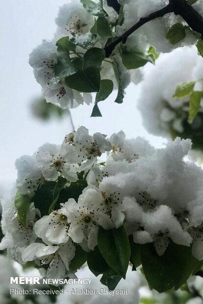 شکوفه های برفی اردبیل