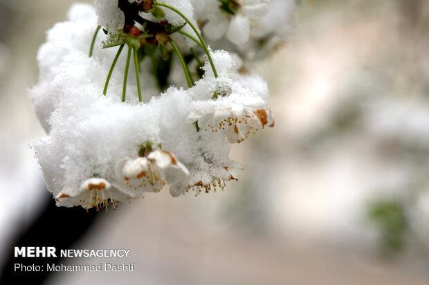 دامن برفی شکوفه های بهاری - اردبیل