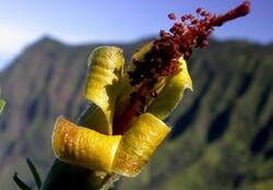 پهپاد گیاه نادر منقرض شده را دوباره کشف کرد