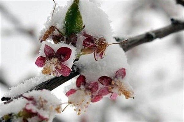 ۹۰ درصد باغات میوه آذربایجان غربی دچار سرمازدگی شدند