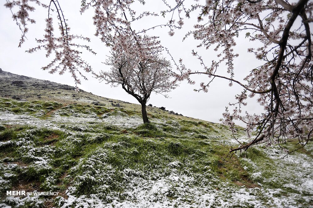 برف و بهار و شکوفه