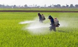مبارزه با سن غلات در ۳۵هزار و ۲۲۰ هکتار از اراضی گندم استان همدان