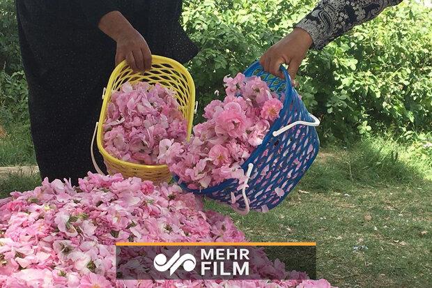 جشنواره گلابگیری در مجموعه تاریخی سعدآباد