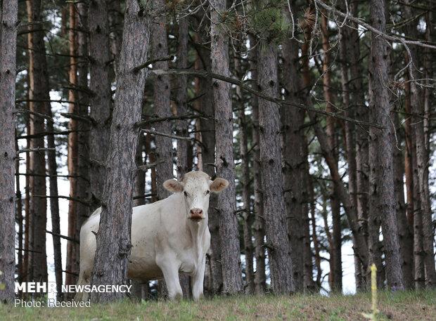 انسان ها و گاوها