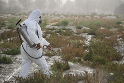مبارزه با ملخ صحرایی در ۱۷۷ هزار هکتار از مراتع سیستان وبلوچستان