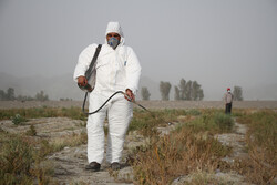 بیشترین سطح مبارزه با ملخ صحرایی مهاجر در سیستان و بلوچستان