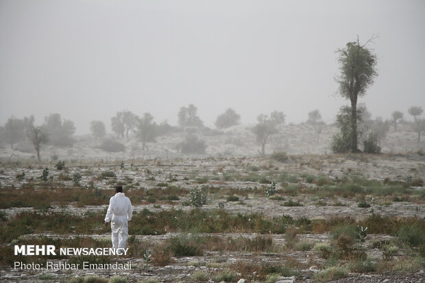 ICMO uses insecticides to control locust swarms in southern Iran