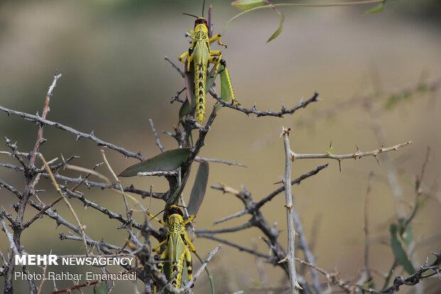 Locusts in Sirik, Jask of Hormozgan