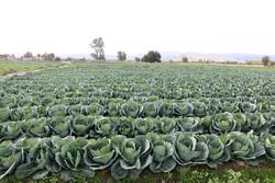 مزارع کلم بهاره در هشت بندی هرمزگان