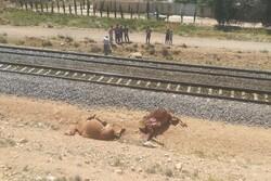 ۶ شتر بر اثر برخورد با قطار شیراز به تهران تلف شدند