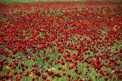 Muhteşem gelincik çiçeği fotoğrafları