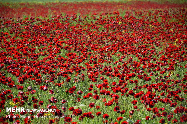 Red poppy fields in northwestern Bileh Savar County
