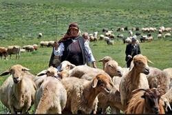 ۵۲۷۴ خانوار دامدار به مناطق ییلاقی استان گیلان کوچ کردند