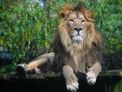 ریاض میں پالتو شیر نے اپنے مالک کو ہلاک کردیا