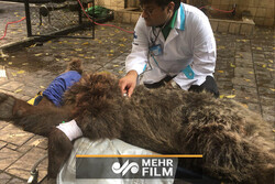 فیلمی از خرس مصدوم در سرپلذهاب