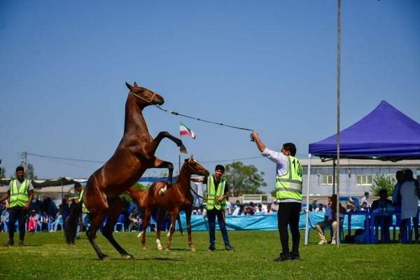 زیباترین اسبهای اصیل ترکمن انتخاب شدند