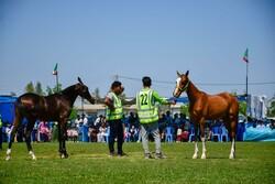برگزاری مسابقه زیبایی اسب در اردبیل/زمین چمن تختی تعویض میشود