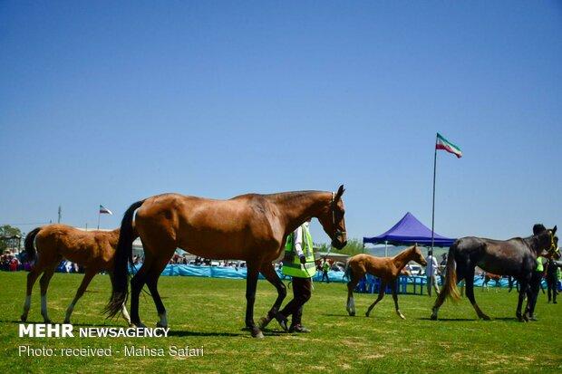 14th National Beauty Festival of Iran's Turkmen Horses