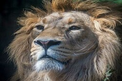 Will recently returned Persian lion survive threats once pushed it toward extinction?