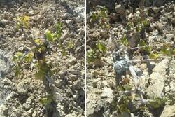 احتمال سرمازدگی محصولات کشاورزی زراعی در زنجان وجود دارد