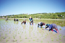Rice cultivation begins in northern Iran