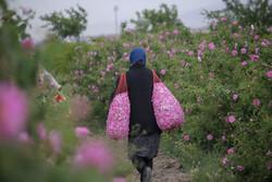 Damask rose harvest in South Khorasan province