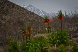 صحراء مغطاة بورود البوق في محافظة فارس الايرانية / صور