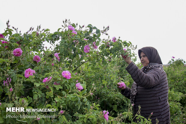 Damas rose harvest in South Khorasan province