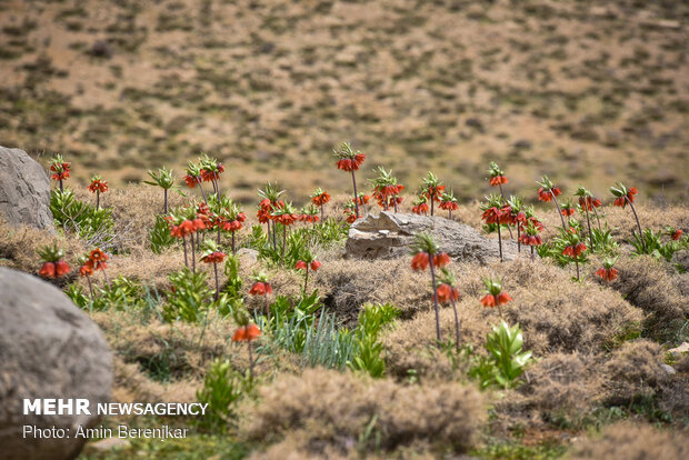 Breathtaking scenery of inverted tulips in Fars province
