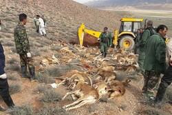 «براکسی» قاتل کـَل و میشهای پارک ملی گلستان