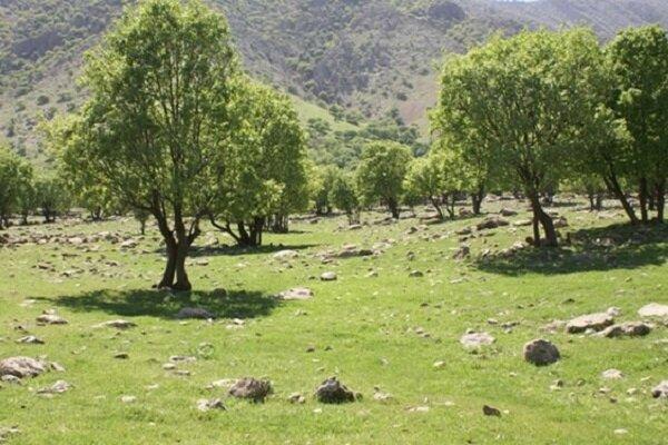 سه برابر درختان قطع شده در جاده یاسوج به سی سخت نهال کاشته می شود