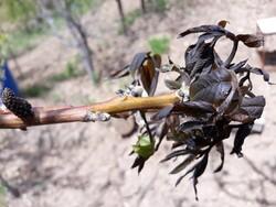 خسارت ۴۴۰ میلیارد تومانی سرمازدگی به باغات و مزارع بیمه شده کشور
