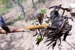 سرمازدگی شدید باغهای شاهرود/ ۱۰۰ درصد محصولات خسارت دید