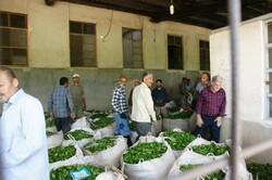 حضور ۴۰۰ ناظر در مراکز خرید تضمینی برگ سبز چای