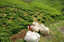 Tea harvest in north Iran