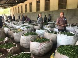 İran'ın kuzeyinde çay hasadı