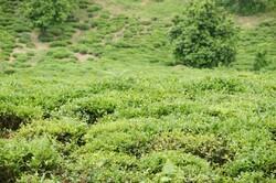 برداشت ۴۴ هزار تن برگ سبز چای بهاره/ ۳۰ میلیارد تومان به چایکاران پرداخت شد