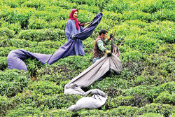 Tea harvest season