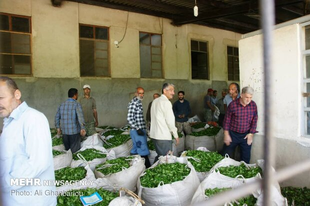 قطف شاي الربيع في مدينة لاهيجان شمالي ايران