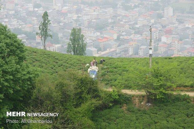Tea harvest in Gilan province