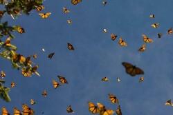 هجوم پروانههای زیبا به جنوب استان تهران/ کشاورزان نگران نباشند