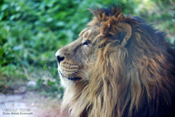 Asiatic lion to return to Iran after 80 years