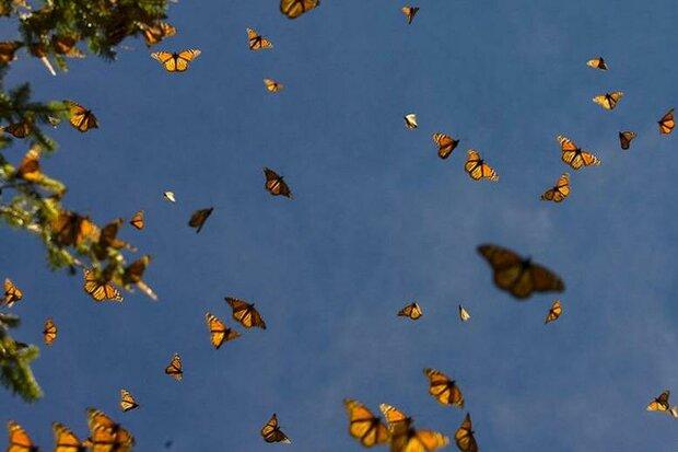 حضور پروانه های زیبا در جنوب استان تهران/کشاورزان نگران نباشند