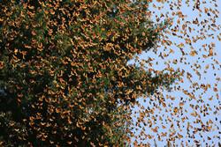 Tahran ve çevresini kelebekler bastı