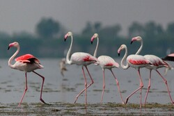 Flamingos return back to Gavkhuni wetland after 2 years