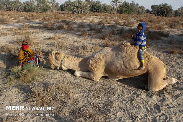 deve yetiştiriciliği