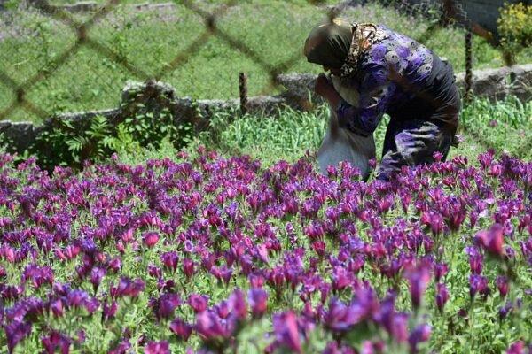 VIDEO: Picking 'echium amoenum' herb in Astara