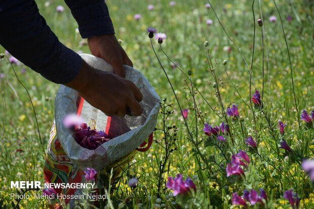 Harvesting Echium amoenum in north Iran